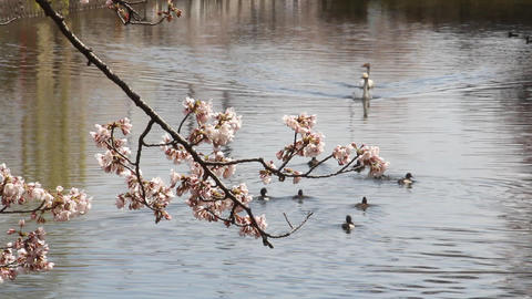 満開の桜と白鳥 ライブ動画
