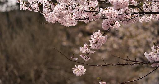 Cherry blossoms are falling Live Action