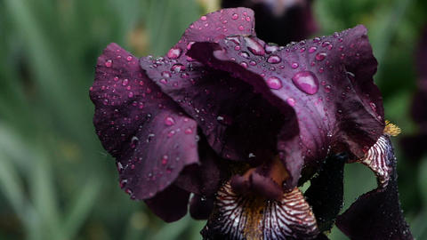 Close-up of Water drops on deep purple burgundy iris flower after rain. Wet Live Action