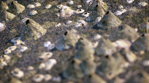 Barnacles on a Rock in Shifting Selective Focus. Video 3840x2160 ライブ動画