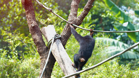 Single Chimpanzee Hangs from a Vine at the Zoo. Video UltraHD Footage