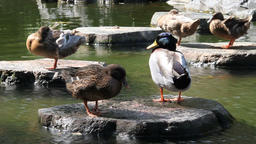 Ducks dry in the sun 01 Footage