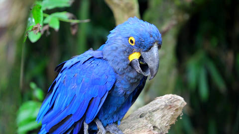 Beautiful Hyacinth Macaw Perched On Tree Branch Footage