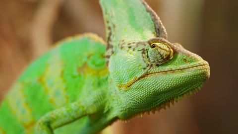 Beautiful Chameleon close up reptile with colourful skin Live Action