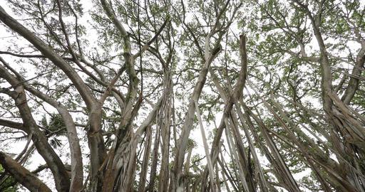 Hawaii banyan tree - Woman sitting in banyan tree during hike on Oahu Hawaii Live Action