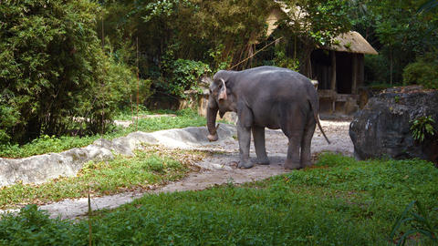 Young Asian Elephant at the Zoo. Video 3840x2160 Footage