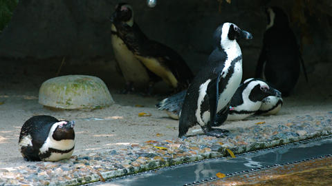 Waddle of Jackass Penguins at the Zoo. Video UltraHD Footage