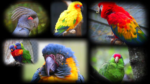 Portraits Of Parrots Collage Footage
