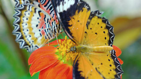 Two Specimens of Leopard Lacewing Butterflies on a Flower. Video 3840x2160 Live Action