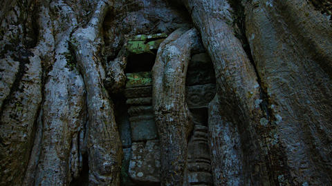 Trunk and Roots of a Tropical Tree Growing through a Temple Ruin Footage