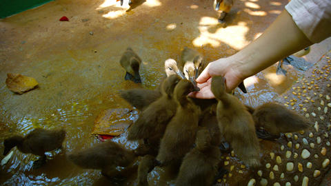 Man feeding and petting a group of baby ducks. Video UltraHD Footage