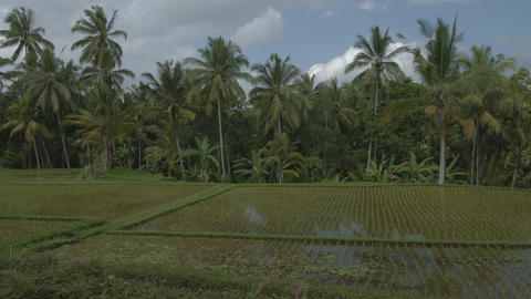 coconut pams over a lowland rice paddy on a farm in Bali. Indonesia Footage