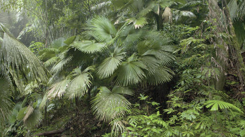 Palms and other tropical trees in a rainforest wilderness area Live Action