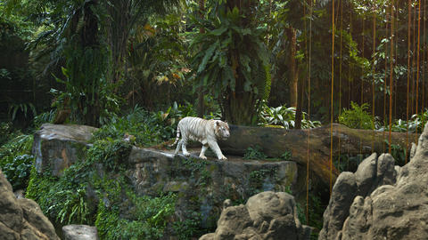 White Tiger Pacing Nervously on a Rock at the Zoo Footage