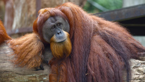 Mature Orangutan Lounges on a Log at the Zoo. UltraHD video Live Action