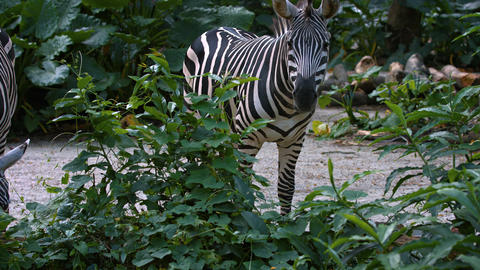 Zebras Grazing at the Zoo. UltraHD 4k footage Live Action
