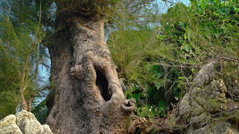 Eerie. Hollow Trunk of an Australian Pine Tree Footage