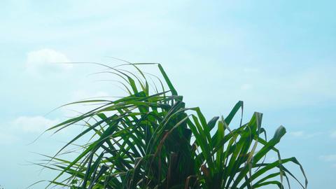 Top of a Pandan Tree Fluttering in a Gentle Breeze Footage
