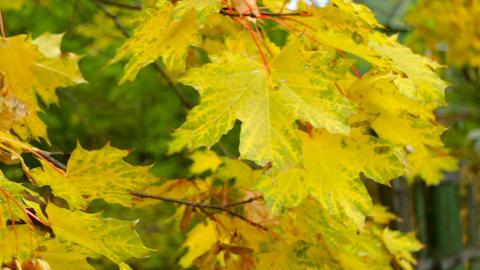 yellow maple leaves close-up ライブ動画