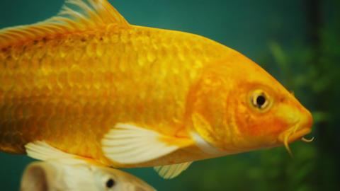 beautiful carp fish swim in clear aquarium close view Live Action