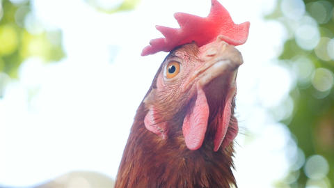 A rural chicken is looking at the camera. Outdoors. Close-up Live Action