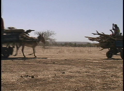 Donkeys pull carts of wood along a barren countryside in... Stock Video Footage