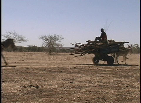 Donkeys pull carts of wood along a barren countryside in West Africa Footage