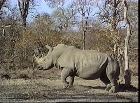 A large African rhino get up after taking a nap in the... Stock Video Footage