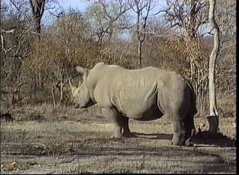 A large African rhino get up after taking a nap in the warm sun Footage