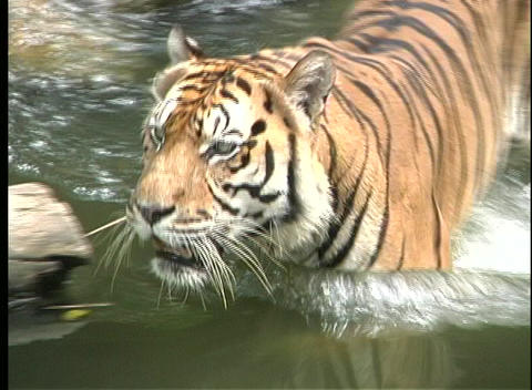 A Bengal tiger wades in a green river in Southeast Asia Stock Video Footage