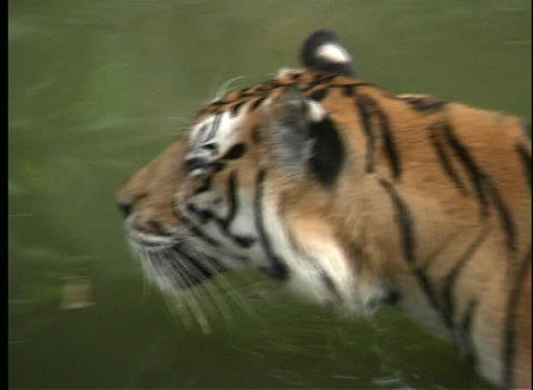A Bengal tiger wades in a green river in Southeast Asia Live Action