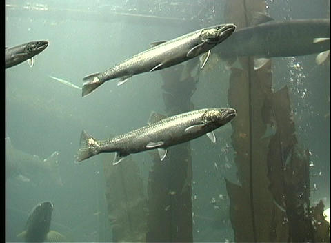 A school of salmon swim underwater while air bubbles drift to the surface Footage