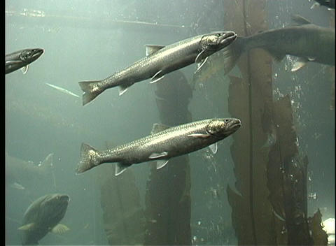 A school of salmon swim underwater while air bubbles... Stock Video Footage