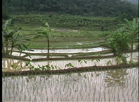 Pan-right over a rice paddy in Bali, Indonesia Footage