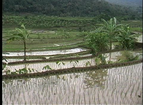 Pan-right over a rice paddy in Bali, Indonesia Stock Video Footage
