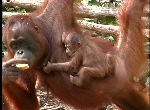 A baby orangutan clutches its mother as she eats Stock Video Footage