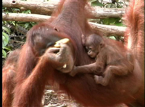 A baby orangutan clutches its mother as she eats Footage