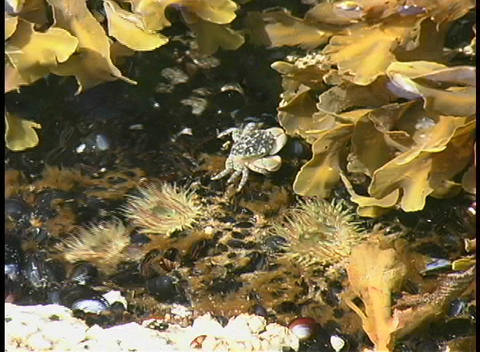 A birds-eye view of a crab and sea anemone, during low... Stock Video Footage