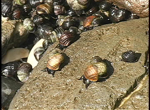 During low tide on an Alaskan beach, snails crawl across a wet rock into a tide pool Footage