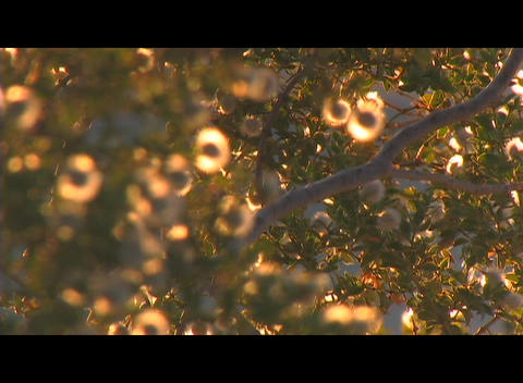 Golden light shines on flowering tree as it rustles in the breeze Footage
