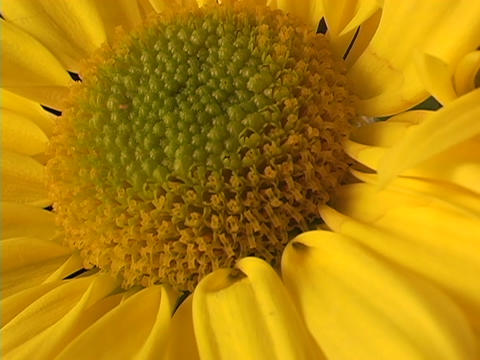 A red ladybug crawls across a bright yellow flower Stock Video Footage