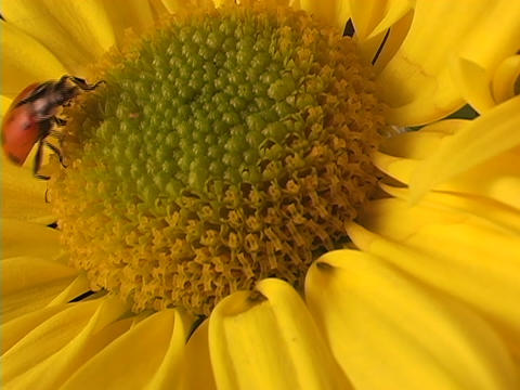 A red ladybug crawls across a bright yellow flower Footage