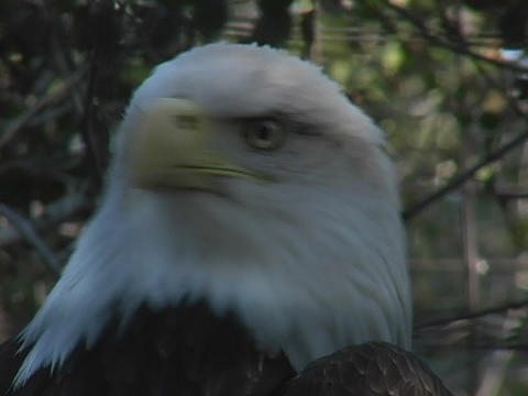 A bald eagle surveys its surroundings Footage