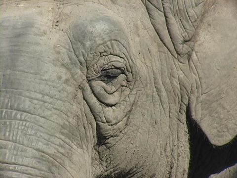Wrinkled skin adorns an elephant's face Stock Video Footage