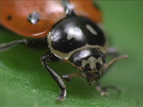A ladybug twitches its antennae as it sits on a leaf Stock Video Footage