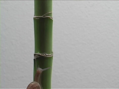 A snail crawls up a bamboo stalk Stock Video Footage