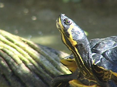 A turtle raises its head up in the air Footage