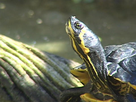 A turtle raises its head up in the air Stock Video Footage