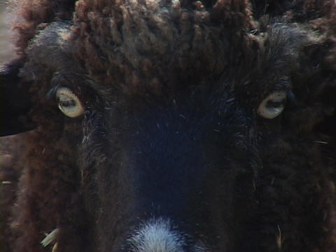 A sheep stands and stares Stock Video Footage
