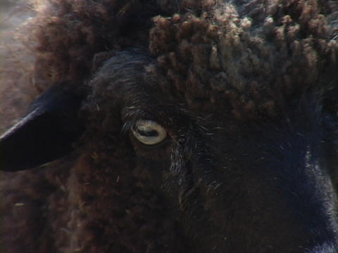 A sheep stands and stares Footage